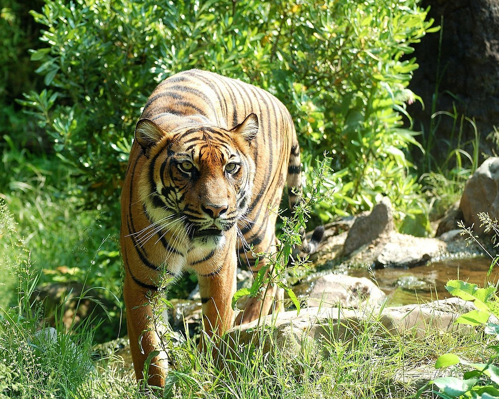 tiger, sumatran tiger, big cat