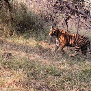 Royal Bengal Tigress.